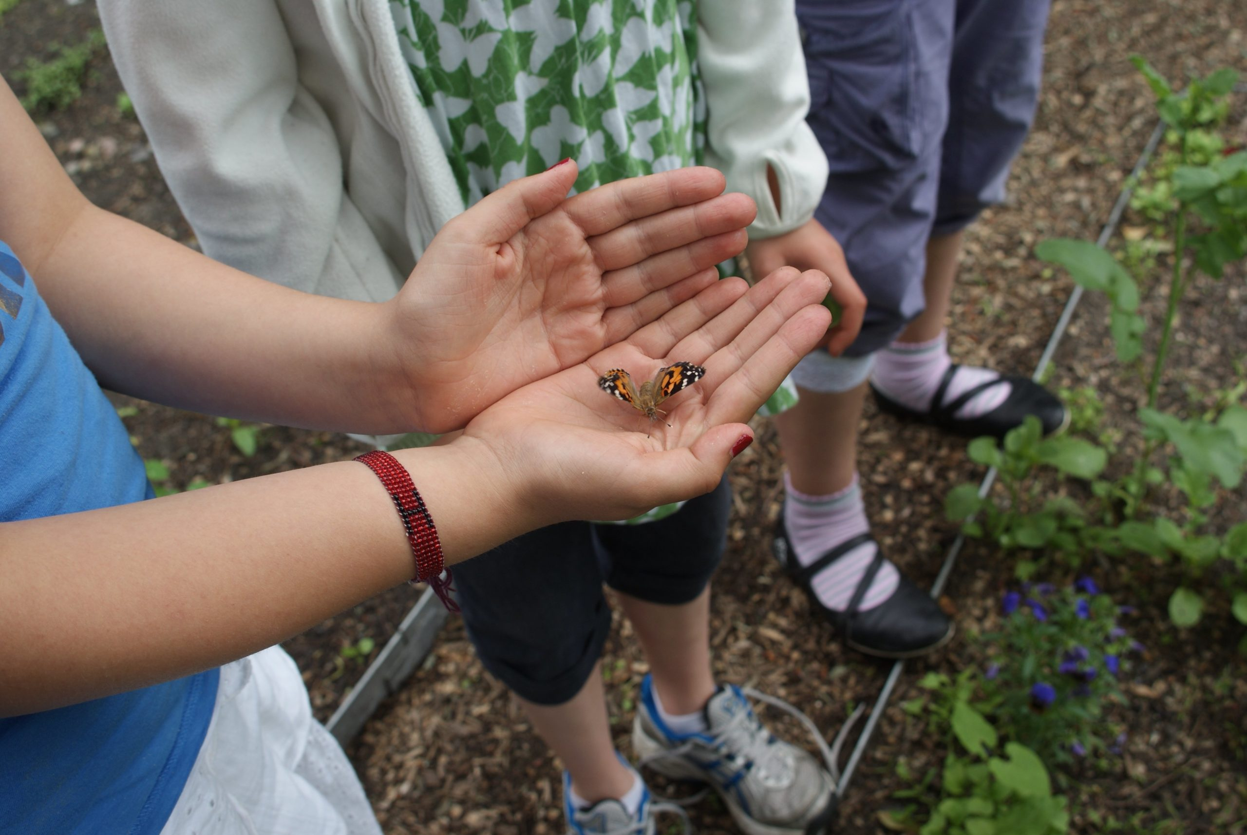 Gartenpiraten: Geburt eines Schmetterlings II